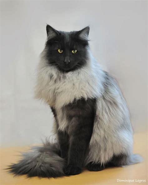 Black Smoke Skogkatt beautiful cat!!   Animal Totems