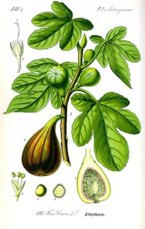 Fruit Trees You Can Grow Indoors - i can give a fig ourlittlehouseinfrance