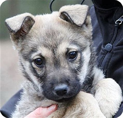 german shepherd puppies for adoption in ct stamford ct german shepherd mix meet nala adoption pending a puppy for adoption