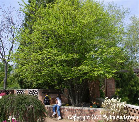 backyard shade trees smaller shade trees for your yard including 6 natives
