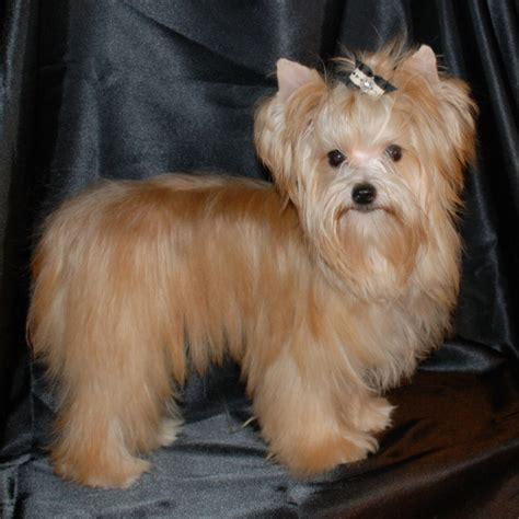 gold yorkie puppies golden nugget golden terrier