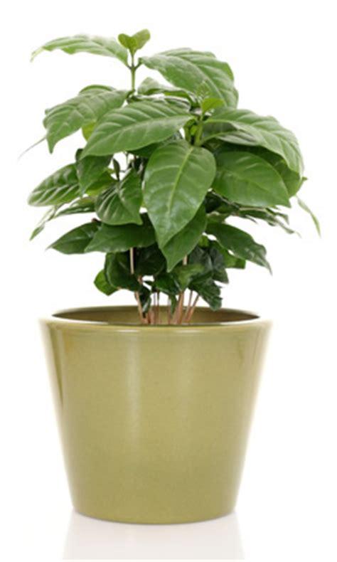 pianta di caffe in vaso piante di caffe idee per interni e mobili