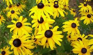 khs plant library rudbeckia black eyed susan