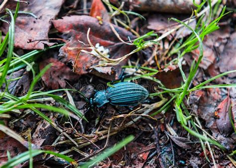 bagnata foto scarabeo in erba bagnata fotografia stock immagine di