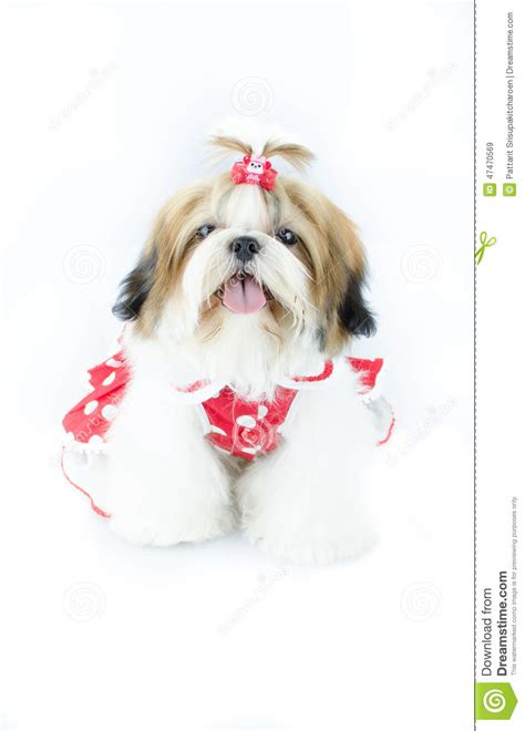 shih tzu dresses shih tzu puppy in dress stock photo image 47470569