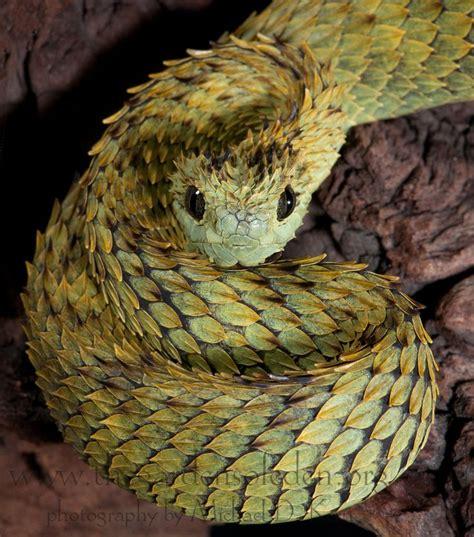 Garden Viper Snake Bush Viper The Gardens Of Dts Herps 2012