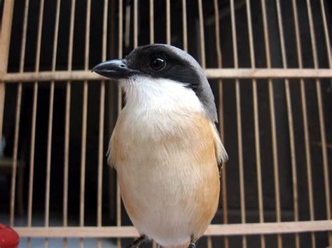 Merk Pakan Branjangan gudang burung merawat melatih cendet setelah ngurak