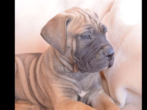 mastiff puppies az bull mastiff puppies breeders nogales az