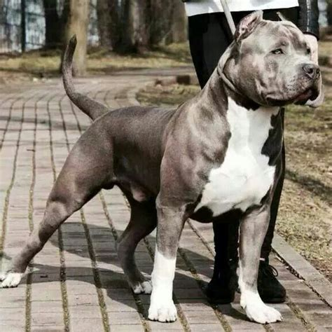 pitbull dog strong animal animals pinterest the