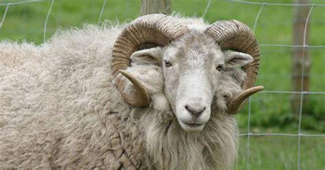 new year animals ram images of ram animals farm wool tup animal sheep