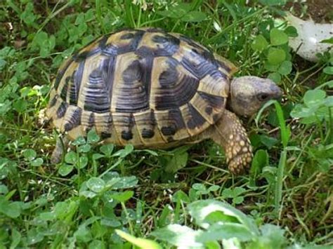 casa tartarughe prezzo vendo tartarughe terrestri thb con doc regolari novara