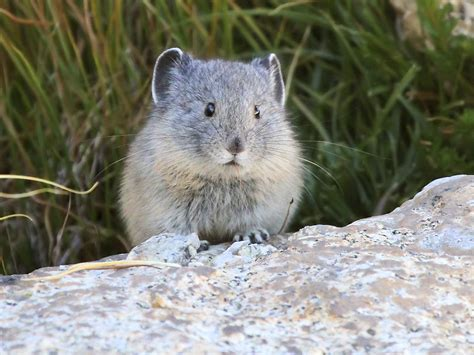 Are Babies Blind American Pika Optics4birding Nature Blog