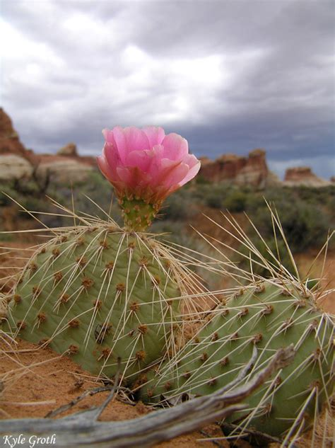 desert flower desert flower a photo from utah west trekearth