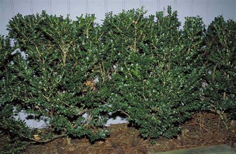 burford holly tree selection landscape plants edward  gilman ufifas