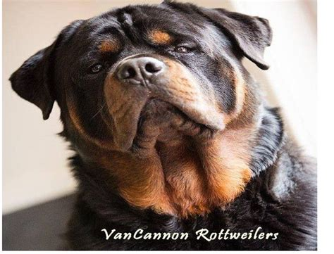 rottweiler types large type rottweiler puppies kc registered chesterfield derbyshire pets4homes