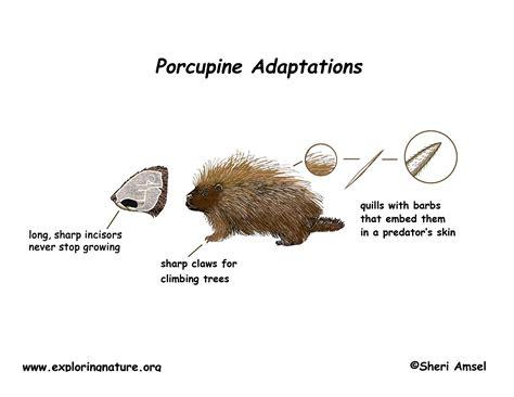 porcupine diagram adaptations of the porcupine