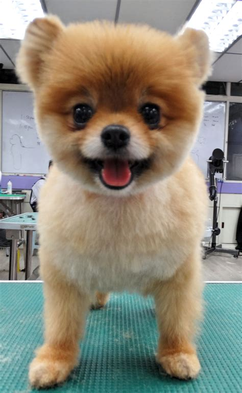 how to do a teddy bear trim on a yorkshire terrier teddy bear cut pomeranian