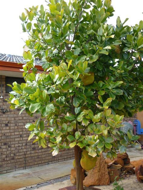4 fruit tree forum fruit trees in perth wa