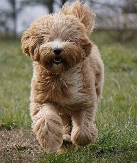 goldendoodle southern indiana southern charm labradoodles american and australian