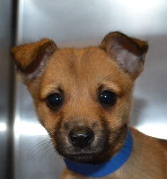 pomeranian fox terrier mix 13 best pomeranian x fox terrier images on cutest animals doggies and