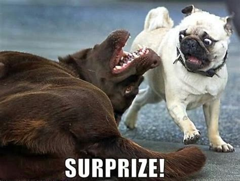 Funny Dog Face Meme - 25 funny animal memes to make you laugh till you drop