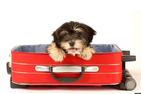 puppy suitcase adorable dogs hanging out in suitcases photos