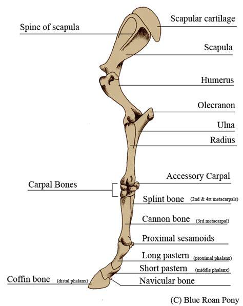 human anatomy details human leg bone structure