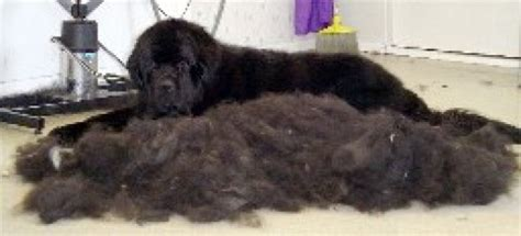 short coated newfoundland newfoundland dog haircut styles hairstylegalleries com