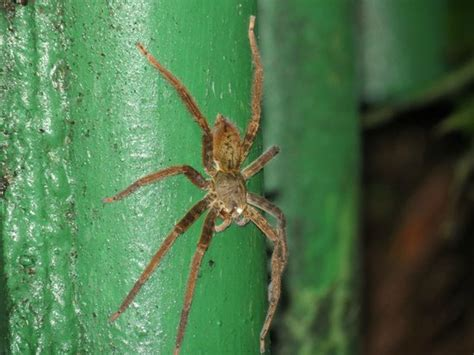 wandering spider picture of costa rica jade