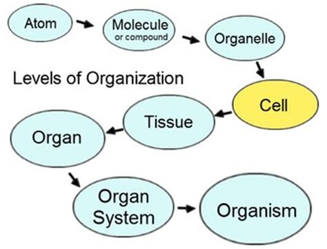 levels of organization diagram introduction to human anatomy and physiology dr