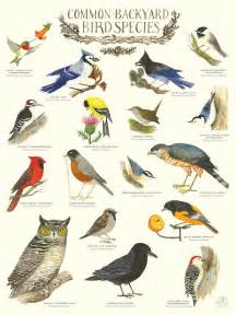 common backyard animals quot common backyard bird species quot infographic poster by diana