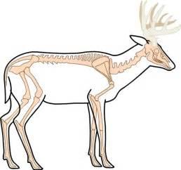 Deer is an extinct species of north american deer human anatomy