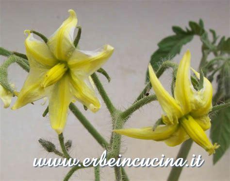 fiori di pomodoro erbe in cucina pomodori alla riscossa
