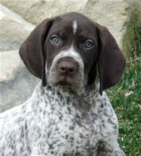 german shorthaired pointer puppies price best 25 gsp puppies ideas on pointer german shorthaired pointer and