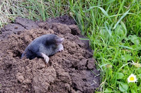 how to get rid of moles in the yard the housing forum