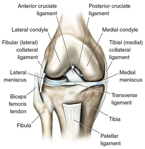 knee tendon diagram knee joint