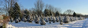 soliday tree farm syracuse central new york christmas trees