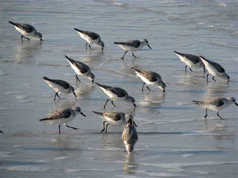 sanderling common shorebirds on florida beaches blog