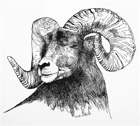 tattoo pen for goats big horned sheep drawing big horned sheep fine art print