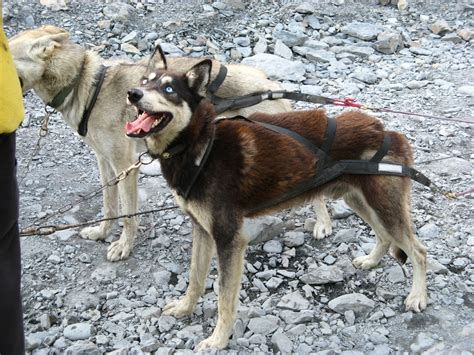 alaska puppies alaska sled photos alaska iditarod sled dogs living in alaska wasilla