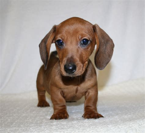 teacup wiener teacup weiner pictures to pin on pinsdaddy