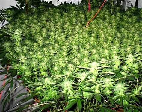 how much does a pallet of bud light cost sour kush scrog pics 37 days in flower grow easy