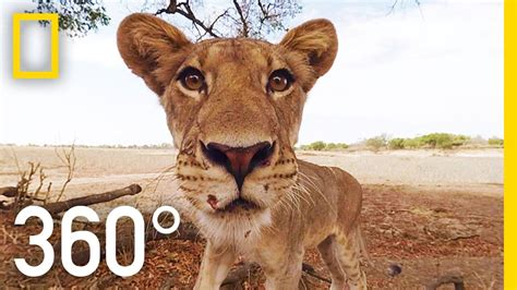 lion film national geographic video lions 360 176 national geographic 360 vr virtual