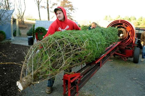 christmas tree farm photography ct tree sales supplies just local growers say connecticut post