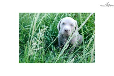 labrador doodle puppies for sale puppies for sale from heritage labradors doodles member