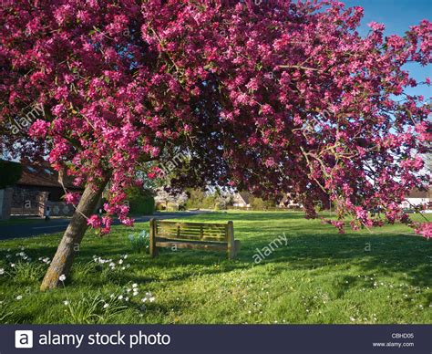 cherry tree unripe green and cherry tree blossom framing bench at stock photo royalty free