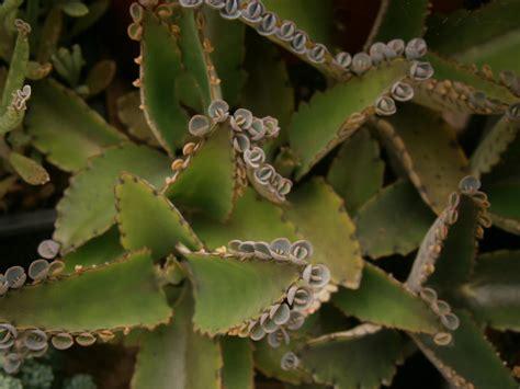 kalanchoe daigremontiana indoor plants pinterest
