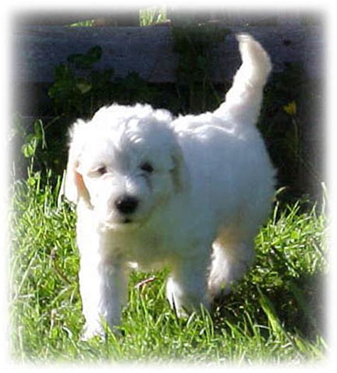 mini goldendoodle ta animals that give pause labradoodle or portuguese water