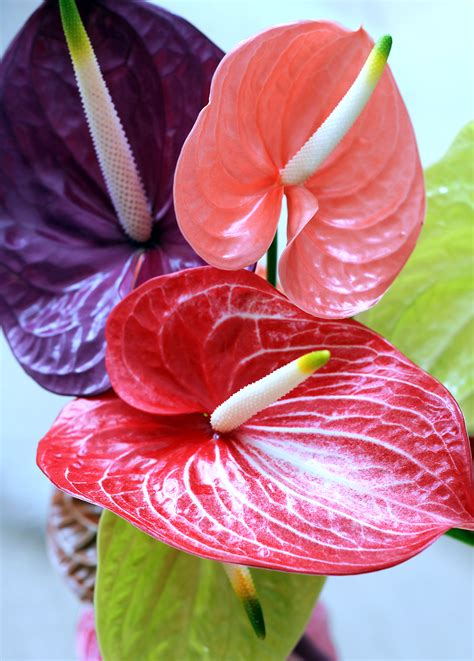 24kinds rare african anthurium seed anthurium andraeanu anthuriums ready made anthurium bouquet hawaii chris