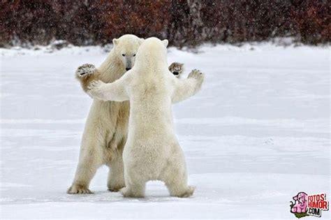 Dancing Polar Bear Meme - animales jugando im 225 genes divertidas y graciosas